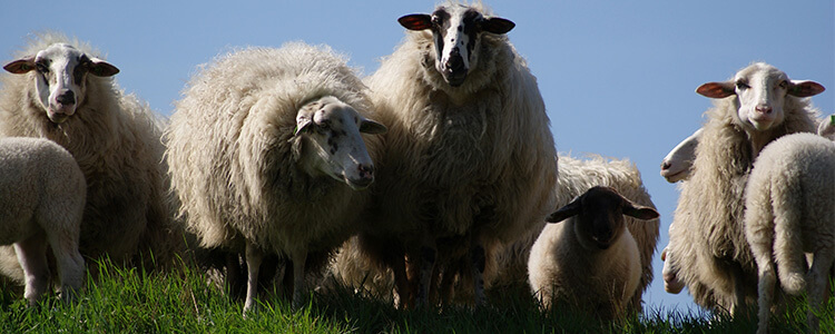 BP_0019_animals-meadow-sheep-750